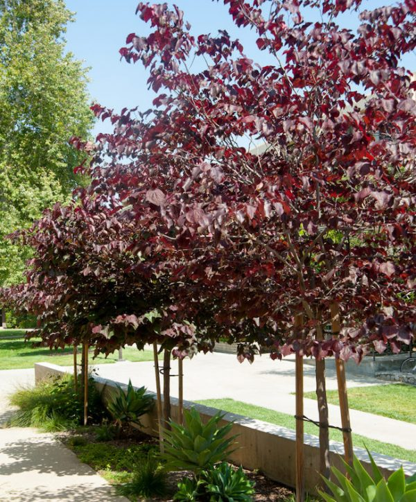 Cercis canadensis Forest Pansy Mature