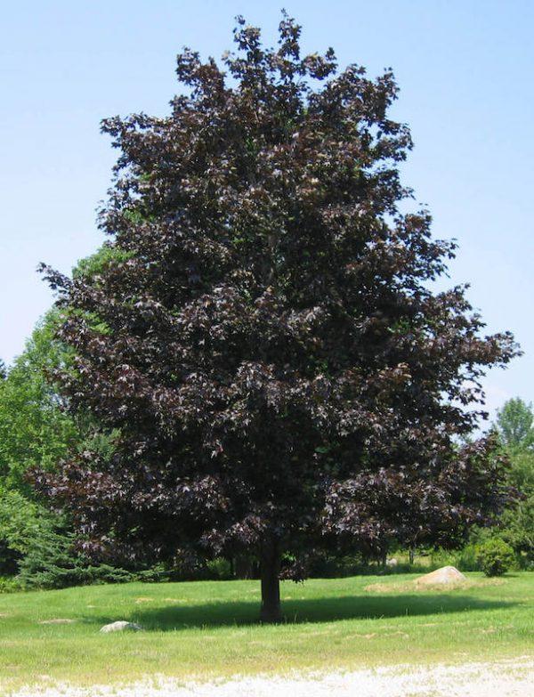 Maple Crimson Sentry Acer platanoides mature