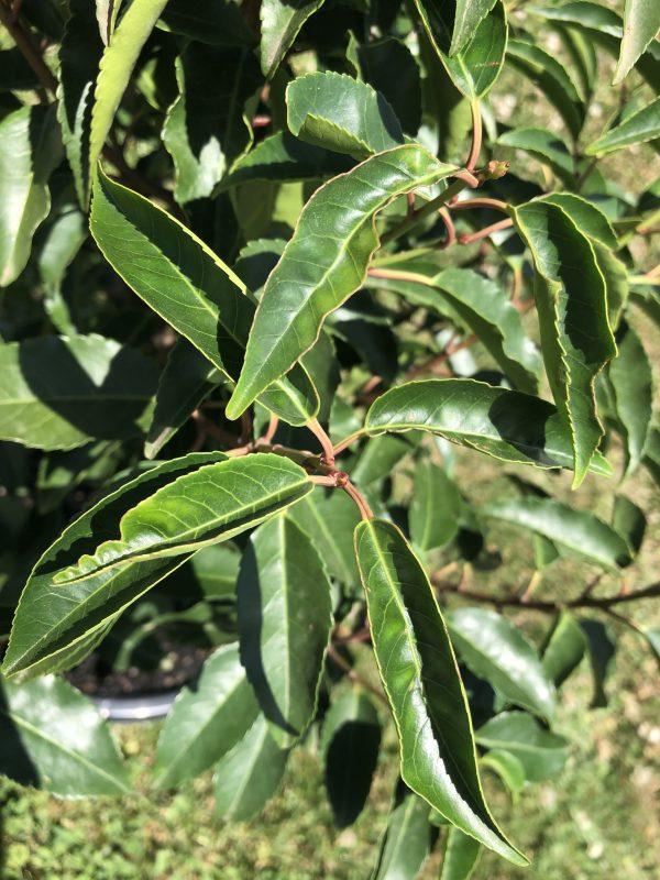 Prunus lusitanica Portuguese Laurel - Leaf