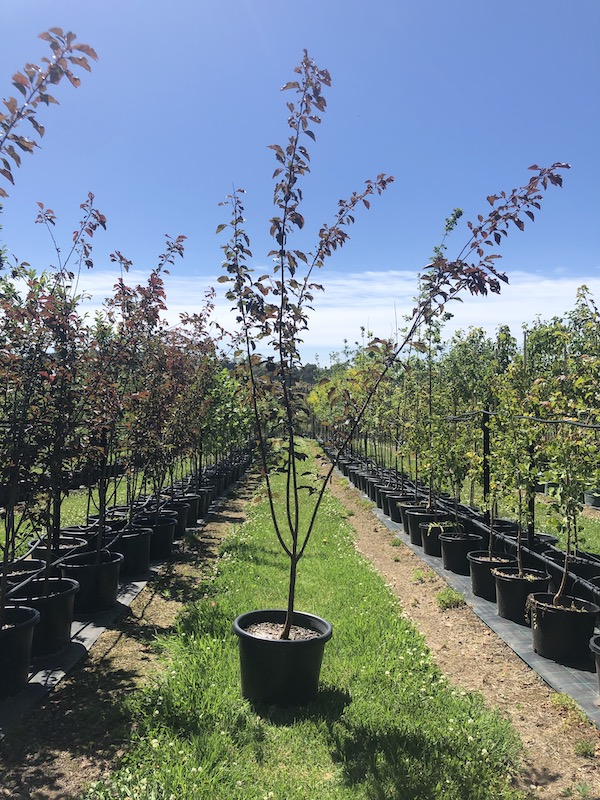 Prunus x blireana Purple Leaf Plum - Pot