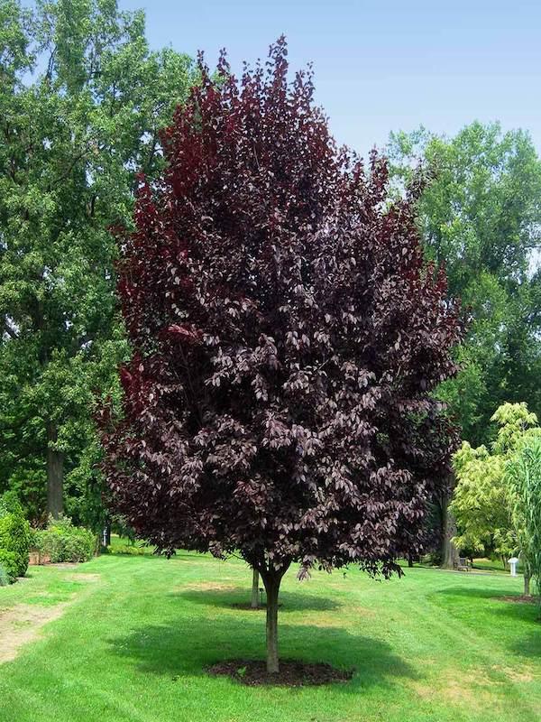 Prunus x blireana Purple Leaf Plum