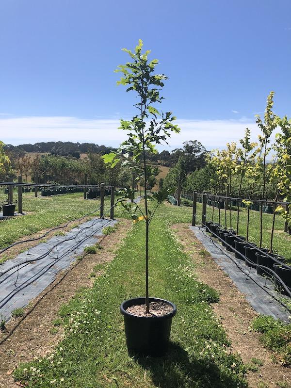 Quercus coccinea Scarlet Oak - Pot