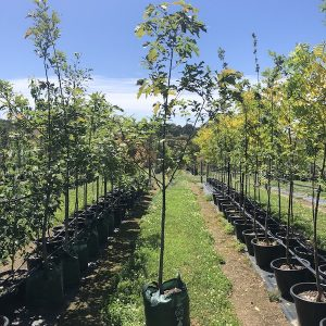 Quercus rubra Red Oak - Pot