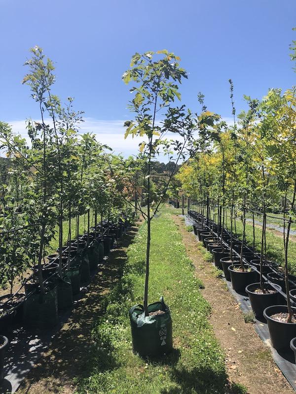 Quercus rubra Red Oak - Pot