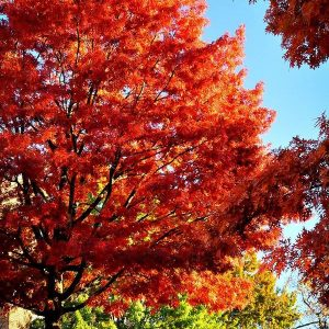 Scarlet Oak Quercus Coccinea