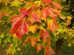Trident Maple Leave
