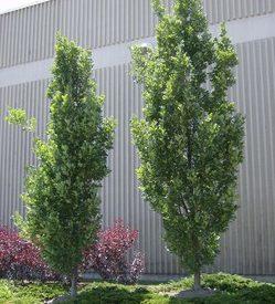 Quercus robur Fastigiata Upright English Oak - Mature