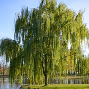 Weeping Willow Salix babylonica