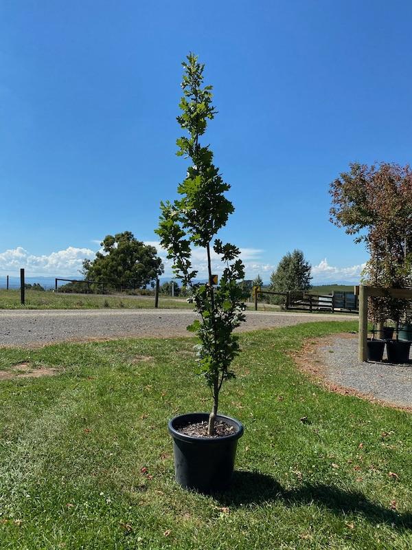 English Oak Upright 400mm Pot
