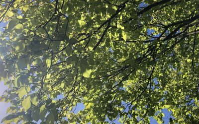 Creating Summer Shade with a Feature Tree
