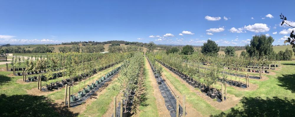Summer Shade Trees